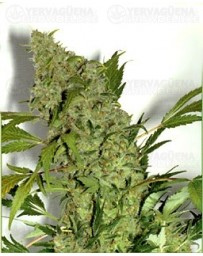 Chronic Serious Seeds regular
