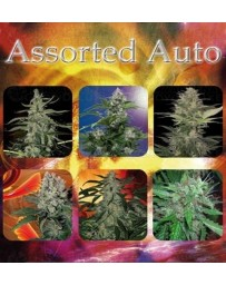 Assorted Auto Buddha Seeds