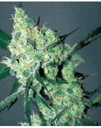 White Russian Serious Seeds regular