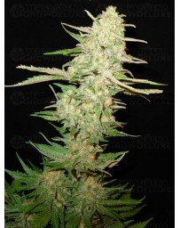 Widow CBD Seeds