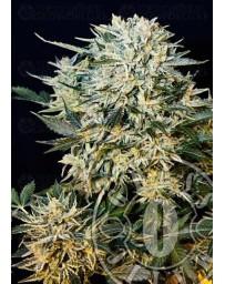 Sugargom Grassomatic autofloreciente
