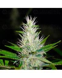 Malakoff Medical Seeds