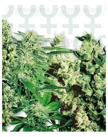 Feminized Mix Sensi Seeds