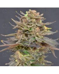 Magma CBD Seeds