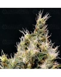 Vanilla Haze CBD Seeds