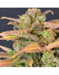 Auto Critical CBD Seeds autofloreciente
