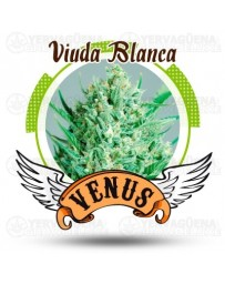 Viuda Blanca Venus Genetics
