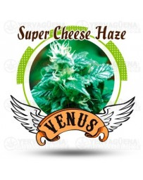 Super Cheese Haze Venus Genetics