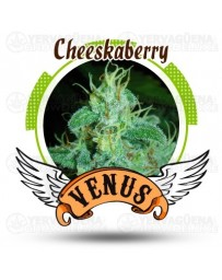 Cheeskaberry Venus Genetics