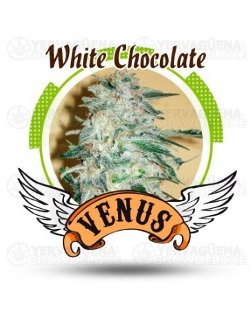 White Chocolate Venus Genetics
