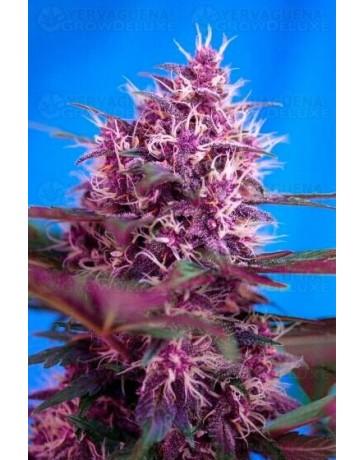 Red Poison Auto Sweet Seeds Autofloreciente