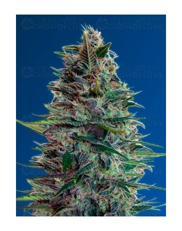 Auto Blue Diesel Advanced Seeds autofloreciente