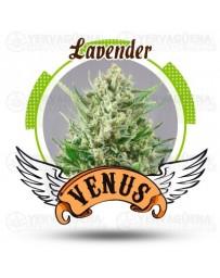 Lavender Venus Genetics