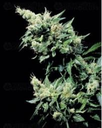 Hash Plant Sensi Seeds regular