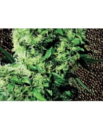 Indoor Mix Sensi Seeds regular