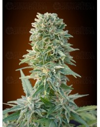 Auto Jack Herer Advanced Seeds autofloreciente
