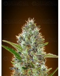 Auto Somango Advanced Seeds autofloreciente