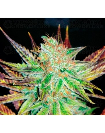 Prozac Medical Seeds