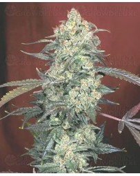 AK 47 Serious Seeds regular