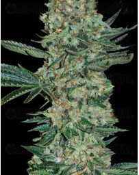 Enemy Of The State Super Strains Seeds