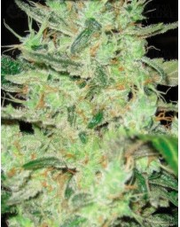 Next of Kin Super Strains Seeds