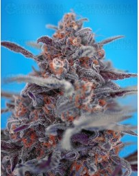 Devil Cream Sweet Seeds autofloreciente