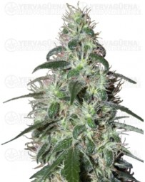 Pulsar Buddha Seeds 5 Semillas