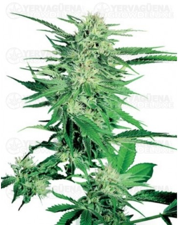 Big Bud Sensi Seeds