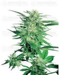 Big Bud Sensi Seeds regular