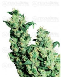 Jack Herer Sensi Seeds regular