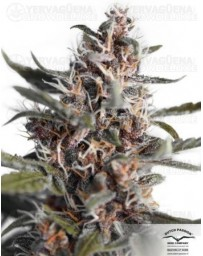 Auto Blackberry Kush Dutch Passion Autofloreciente