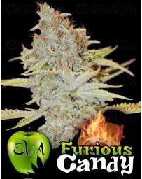 Furious Candy Eva Seeds