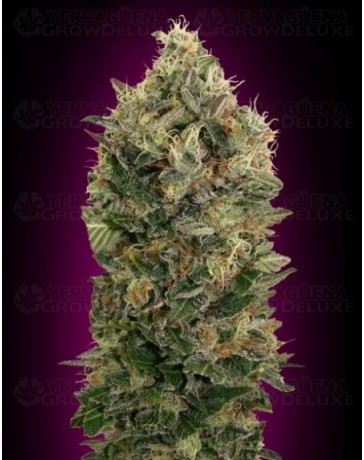 Auto Black Diesel Advanced Seeds autofloreciente