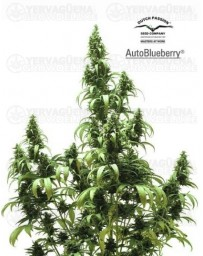 Auto Blueberry Dutch Passion autofloreciente