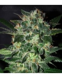 Domina Star World Of Seeds