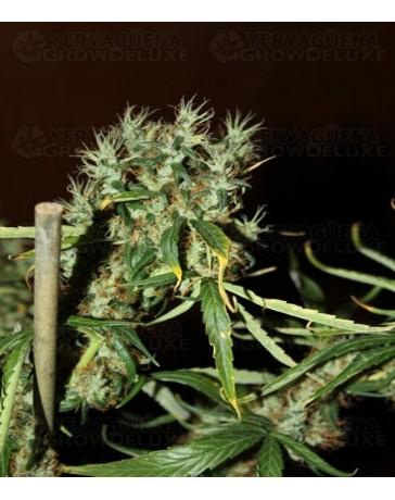 CBD Mango Haze (CBD CREW)