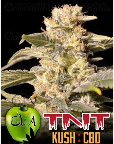TNT Kush CBD Eva Seeds
