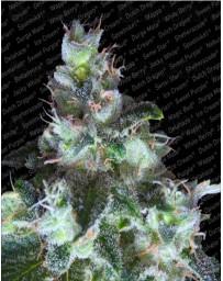 Original White Widow (IBL) Paradise Seeds