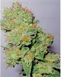 Y Griega CBD Medical Seeds