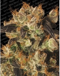 White Berry Paradise Seeds Outlet