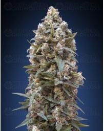 00 Kush 00 Seeds