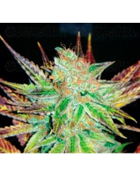 Prozack Medical Seeds