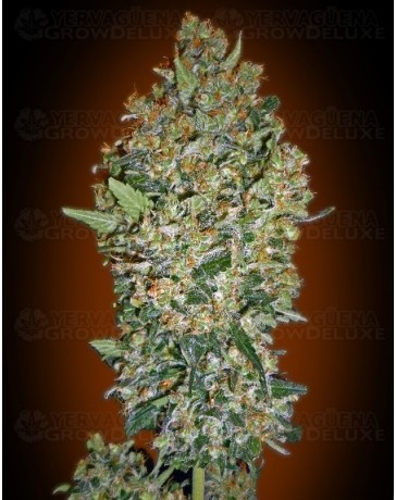 Cheese Berry 00 Seeds