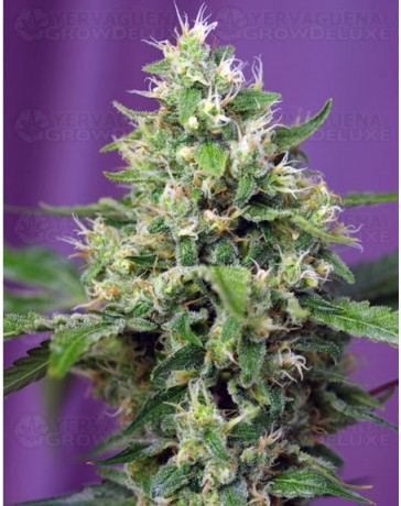 Blow Mind Sweet Seeds autofloreciente