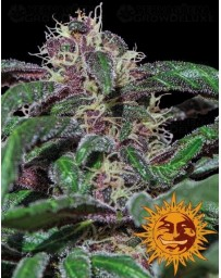 Ayahuasca Purple Barney's Farm