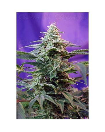 Sweet Special F1 Fast Version Sweet Seeds Outlet
