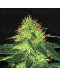 Domina CBD Seeds Outlet