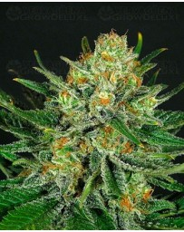 Double Glock Ripper Seeds Outlet