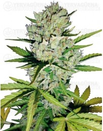 Super Skunk White Label autofloreciente