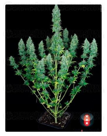 planta-marihuana-serious-happiness